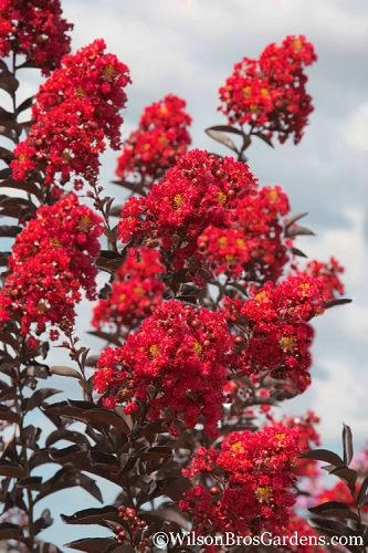 Delta Flame Crape Myrtle - 2 Gallon Pot