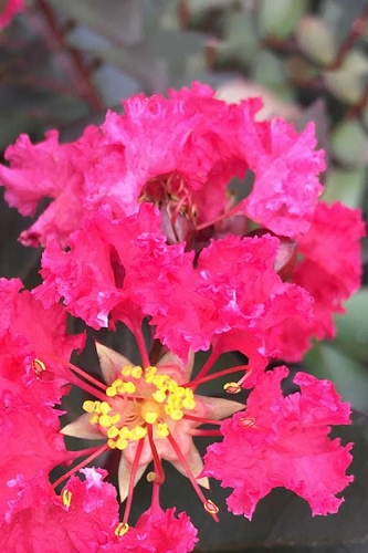 Double Dynamite Crape Myrtle - 1 Gallon Pot