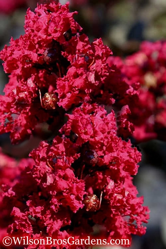 Double Feature Red Crape Myrtle - 3 Gallon Pot