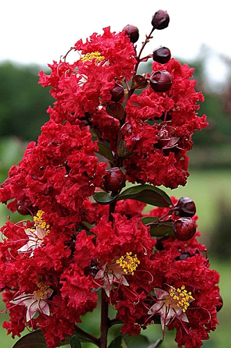 Dynamite Red Crape Myrtle - 3 Gallon Pot