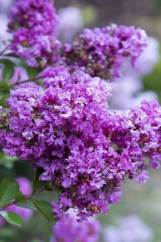 Early Bird Purple Crape Myrtle - 2 Gallon Pot
