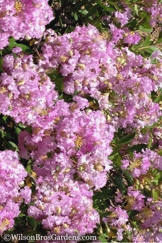 Early Bird Lavender Crape Myrtle - 2 Gallon Pot