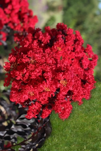 Ebony Fire Crape Myrtle - 1 Gallon Pot