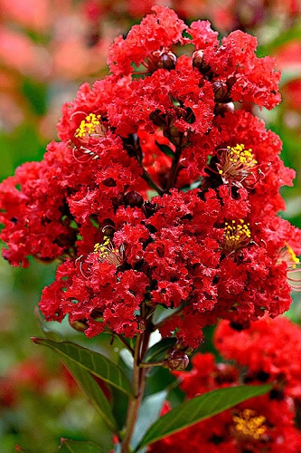 Enduring Summer Red Crape Myrtle - 3 Gallon Pot