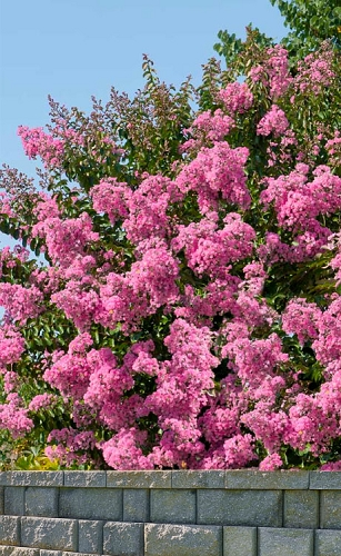 Hopi Pink Crape Myrtle - 6 Pack of 1 Gallon Pots