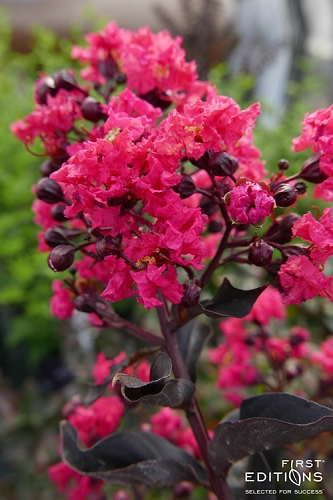 Midnight Magic Crape Myrtle - 3 Gallon Pot