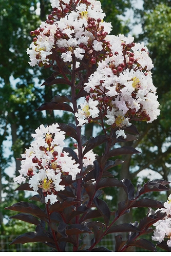 Moonlight Magic Crape Myrtle - 3 Gallon Pot