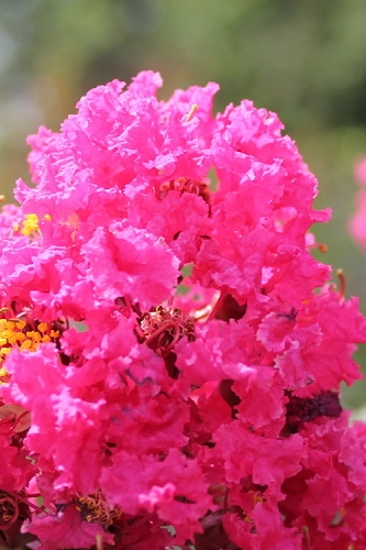 Pink Velour Crape Myrtle Tree - 1 Gallon Pot