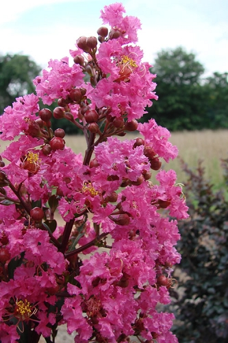 Plum Magic Crape Myrtle - 3 Gallon Pot