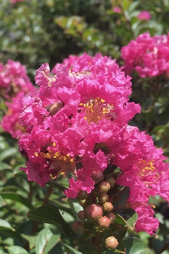 Pocomoke Dwarf Crape Myrtle - 3 Gallon Pot
