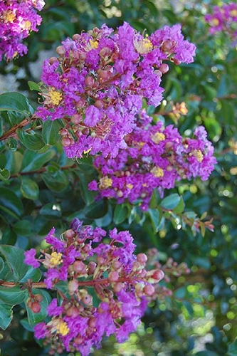 Purple Cow Crape Myrtle - 3 Gallon Pot