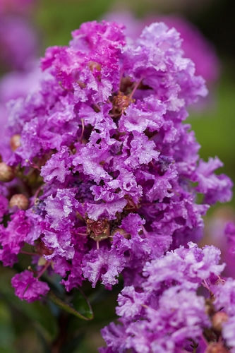 Purple Magic Crape Myrtle - 1 Gallon Pot