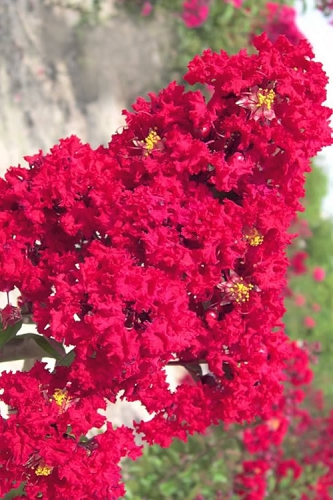 Red Rocket Crape Myrtle - 3 Gallon Pot