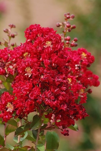 Red Rooster Crape Myrtle - 2 Gallon Pot