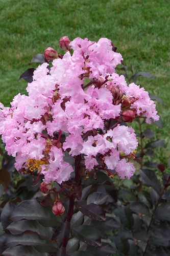 Rhapsody in Pink Pink Crape Myrtle - 3 Gallon Pot