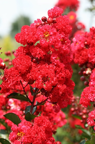 Ruffled Red Magic Crape Myrtle - 1 Gallon Pot