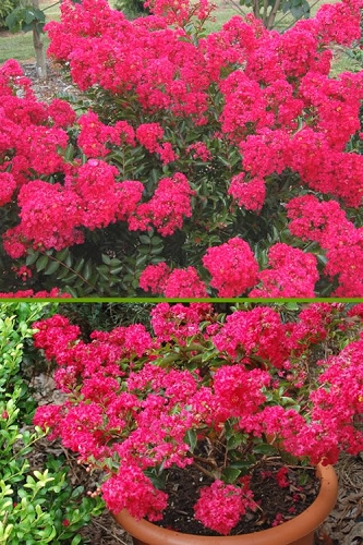 Strawberry Dazzle Dwarf Crape Myrtle