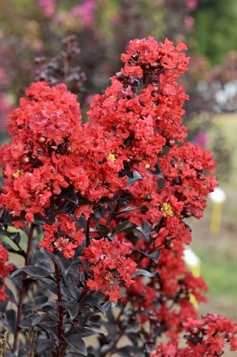 Sunset Magic Crape Myrtle - 1 Gallon Pot