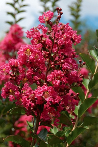 Tonto Red Crape Myrtle - 3 Gallon Pot