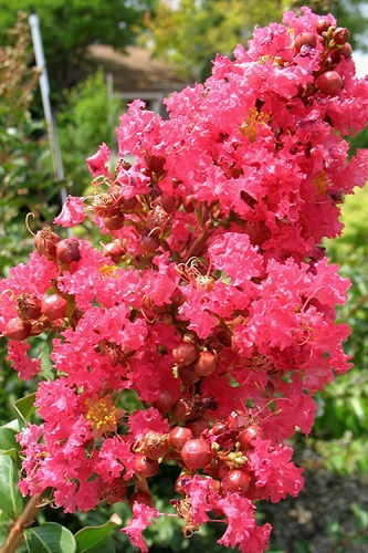 Tuscarora Watermelon Red Crape Myrtle