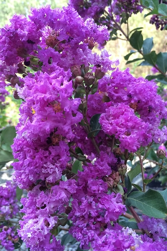 Twilight Purple Crape Myrtle - 5 Gallon Pot
