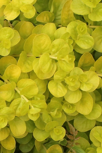 Golden Creeping Jenny - Lysimachia nummularia Aurea - 10 Count Flat of Quart Pots