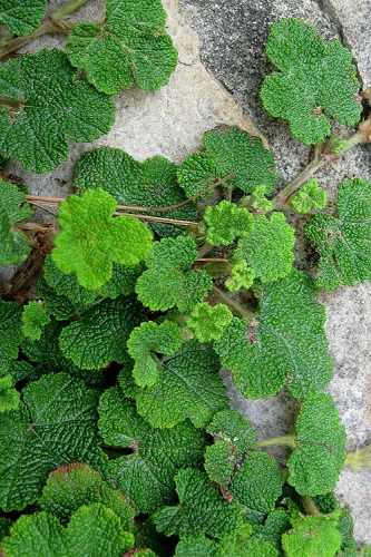 Creeping Raspberry (Rubus calycinoides) - 1 Gallon Pot