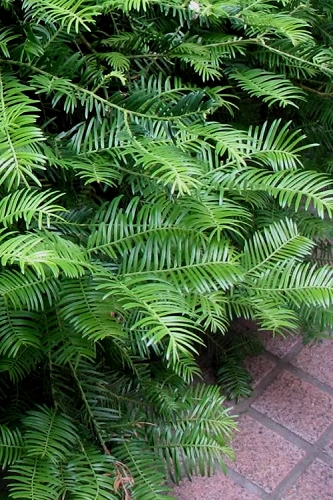 Creeping Japanese Plum Yew - Cephalotaxus harringtonia 'Prostrata' - 1 Gallon Pot