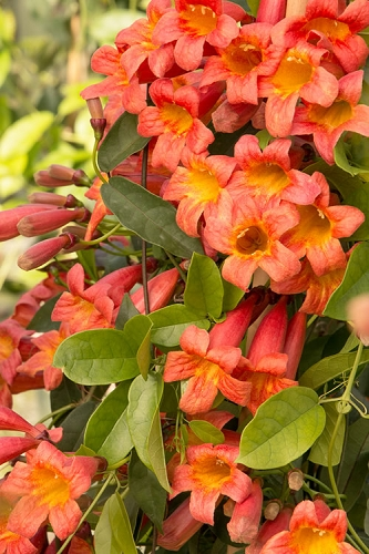 Tangerine Beauty Crossvine - Bignonia capreolata - 3 Gallon Pot