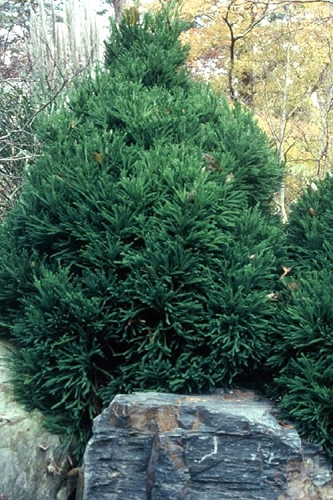 Chapel View Cryptomeria - Japanese Cedar - 3 Gallon Pot