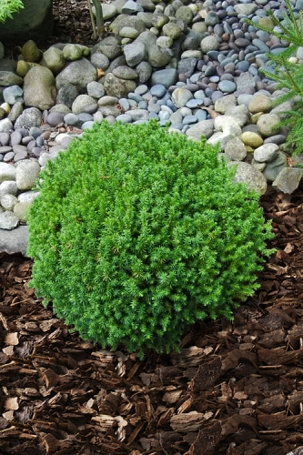 Compressa Dwarf Cryptomeria (Japanese Cedar) - 2 Gallon Pot