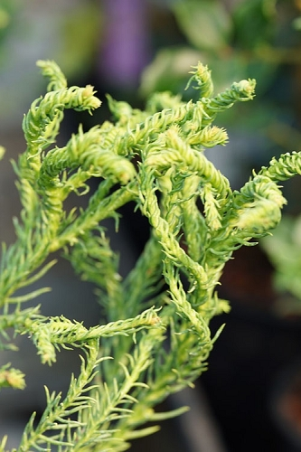 Spiraliter Falcata' Cryptomeria (Japanese Cedar) - 2 Gallon Pot