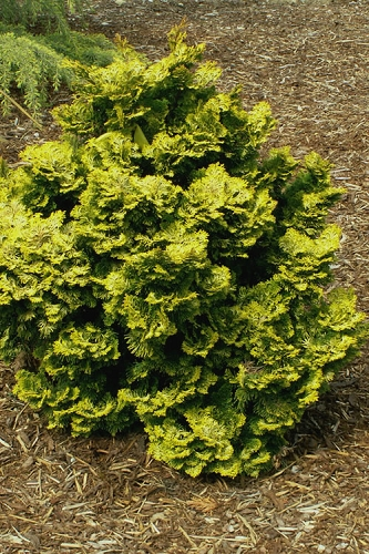 Golden Dwarf Hinoki Cypress - Chamaecyparis obtusa 'Nana Lutea' - 1 Gallon Pot
