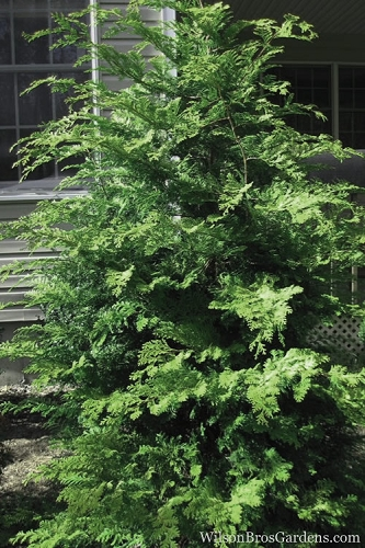 Southern Lace Hinoki Cypress - 1 Gallon Pot