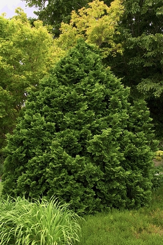 Tempelhof Hinoki Cypress - 1 Gallon Pot