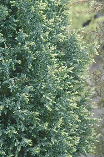 Snow White Dwarf Lawson's Cypress - Chamaecyparis lawsoniana