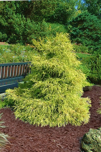Lemon Thread False Cypress