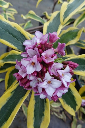 Maejima Variegated Pink Winter Daphne - 1 Gallon Pot