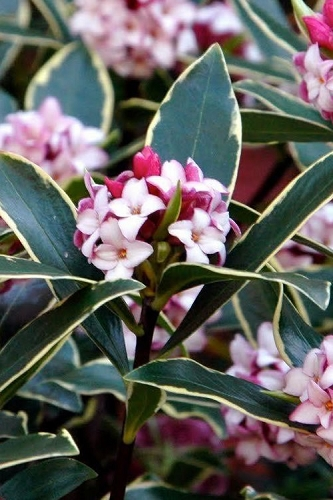 Variegated Pink Winter Daphne - 1 Gallon Pot