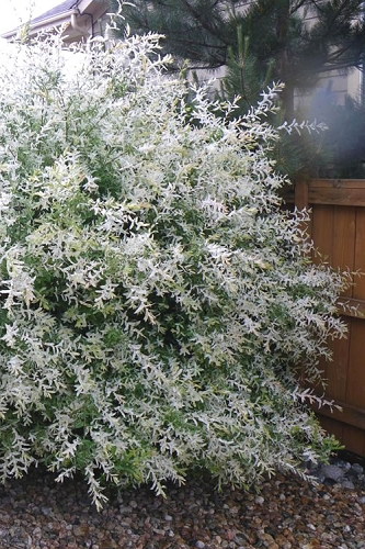 Variegated Dappled Willow Bush - Salix integra 'Hakuro Nishiki' - 1 Gallon Pot