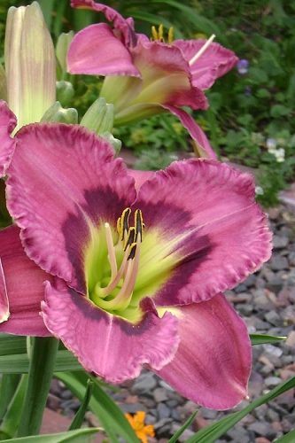 Always Afternoon Daylily