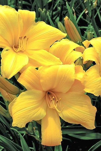 Buttered Popcorn Daylily - 1 Gallon Pot