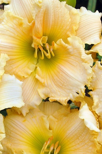 Joy of Living Family Reunion Daylily