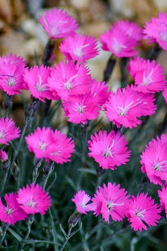 Firewitch Dianthus (Carnation) - 5 Pack of Quart Pots