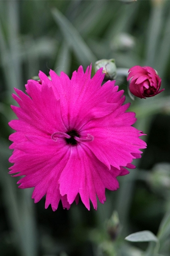 Neon Star Dianthus (Carnation) - 1 Gallon Pot