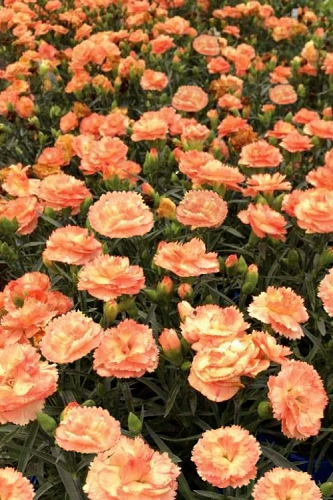Super Trouper Orange Dianthus (Carnation) - 5 Pack of Quart Pots