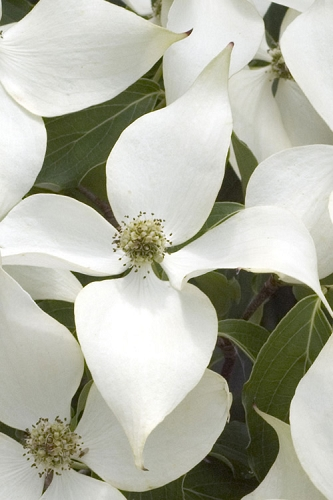 White Kousa Chinese Dogwood - Cornus kousa - 2 Gallon Pot