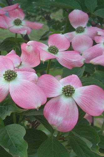 Hybrid Pink Dogwood - 3 Gallon Pot