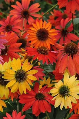 Cheyenne Spirit Coneflower (Echinacea) - 5 Pack of Quart Pots