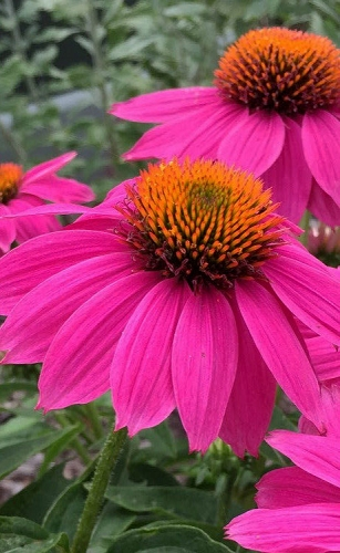 PowWow Wild Berry Coneflower (Echinacea) - 5 Pack of Quart Pots